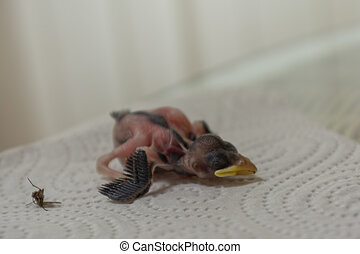 helpless nestling next to Fly - newly hatched house sparrow...