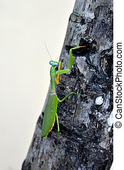 mantis - green mantis crawling on a tree
