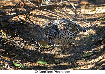 hazel grouse - Hazel grouse sitting on the ground closeup