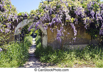 Old wisteria flowering on old wall in Rhodes island - Old...