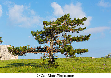 Pinus stankewiczii grows on a plateau on the mountain Ai...