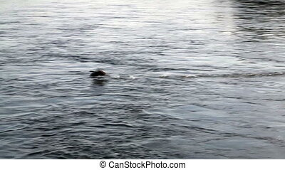 Duck Flying Over Surface Of America - Duck Flying And...