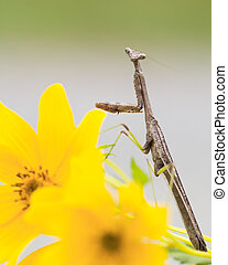 Small adult praying mantis on yellow flowers - Small brown...