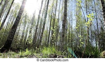 Sunny springtime forest - Slider shot in sunny springtime...