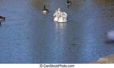 Group Of Ducks Swimming In Lake - In the frame there is a...