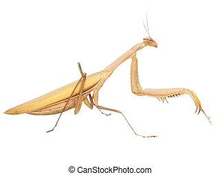 European mantis, praying mantis, mantis religiosa isolated...