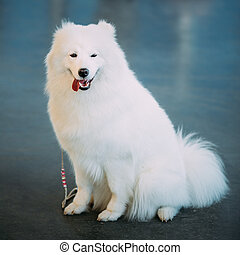 Happy White Samoyed Bjelkier Dog Sitting On Floor The...