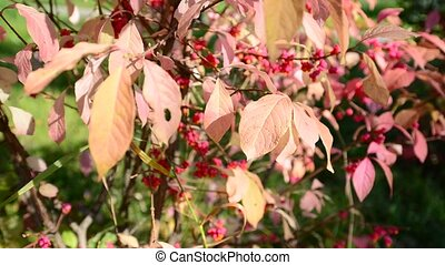 euonymus in the autumn coloring of foliage - euonymus in the...