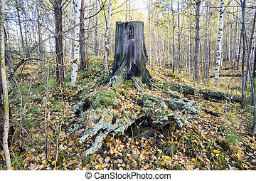Old stump covered with moss.