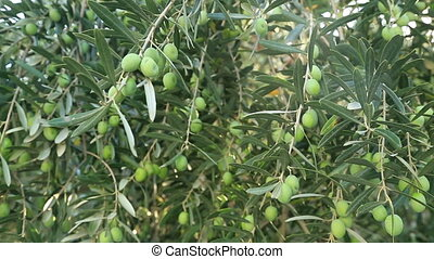 Green Olive Tree