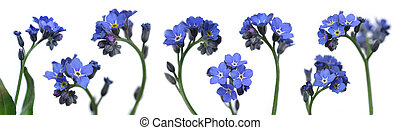 forget-me-nots - mix of 8 forget-me-nots over clear white...