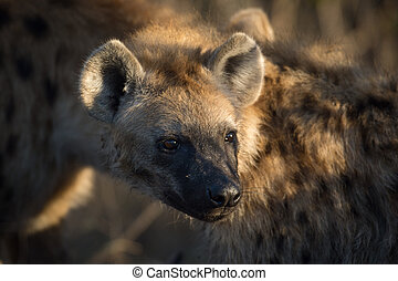 Spotted hyena - Portrait of a spotted hyena at a giraffe...