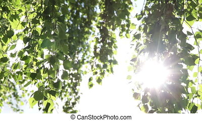Birch leaves and sun