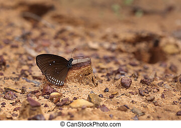 Common Indian Crow butterfly Euploea core Lucus on the...