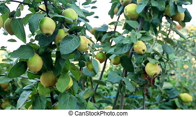 Quince tree branch