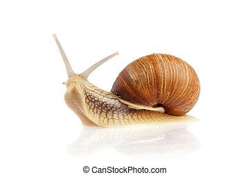 Burgundy snail (Helix pomatia) isolated on white background.