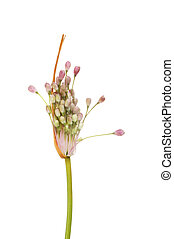 Allium Pulchellum flowerhead isolated against white