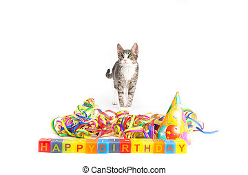 birthday kitten - little grey tiger kitten playing with...