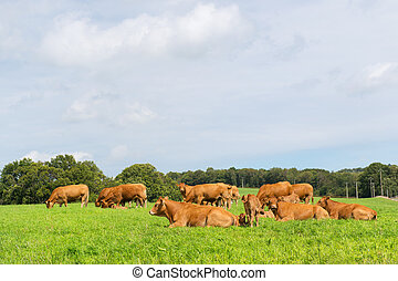 Limousin cows - Typical Limousin cows in the French pastures
