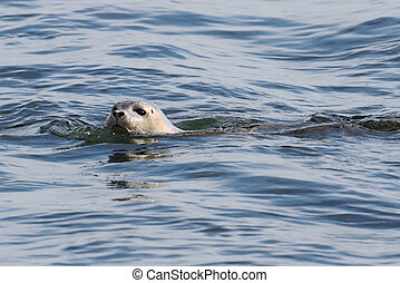 Harbor Seal In The Atlantic Ocean - Harbor Seal Phoca...