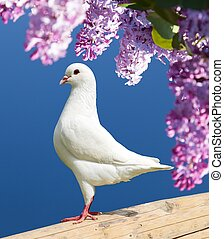 one white pigeon - Beautiful view of one white pigeon on...