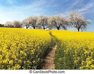 Rapeseed field, parhway and alley flowering cherry trees -...