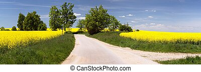 field of rapeseed with rural road - field of rapeseed...