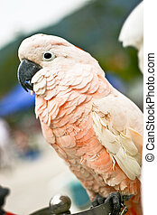 Moluccan Cockatoo (parrot) with blur background