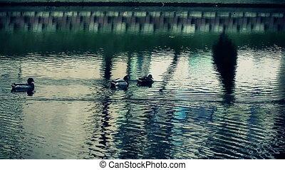ducks in lake slow motion