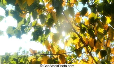 autumn leaves in tree sun light