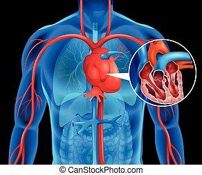 Xrays of human heart illustration
