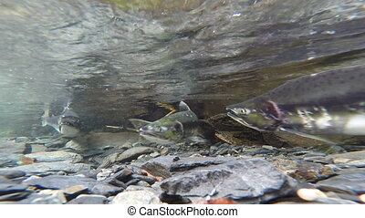 Wild Pacific Pink Salmon Spawning Clear Glacier Stream -...