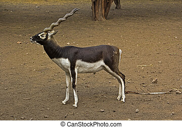 Black Buck - Male Black Buck Antilope cervicapra