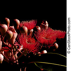 abstract on black red flowers eucalyptus phytocarpa -...