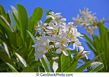 Champa - Flowers of champa or plumeria or frangipani in...