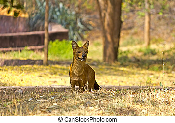 Dhole or Indian red wolf (Cuon alpinus)