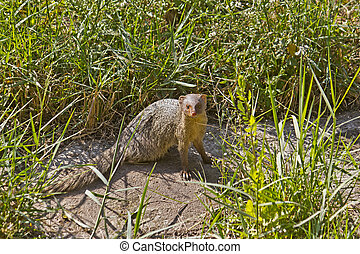 Mongoose in a grass looks to the camera