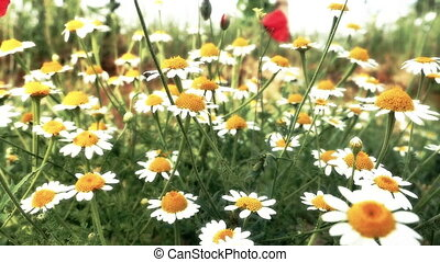 chamomile in meadow