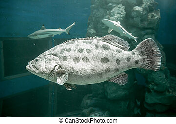 Brown spotted grouper under the sea In the big tank