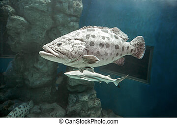 Brown spotted grouper under the sea. In the big tank.