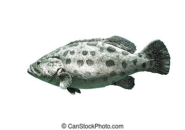 Brown spotted grouper under the seaOn isolated white...