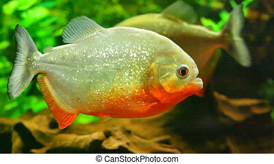 Red-bellied piranha in aquarium - Close up view at aquarium...