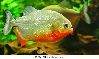 Red-bellied piranha in aquarium - Close up view at aquarium...