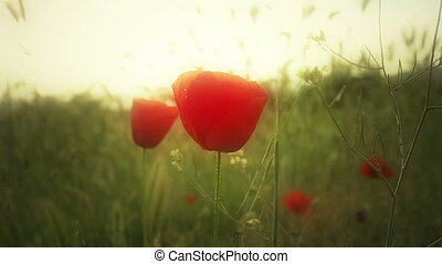 poppy flowers in field