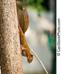 squirrel or small gong, Small mammals on tree - close up...