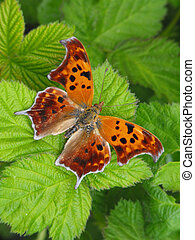 Question Mark Butterfly - Question Mark Polygonia...