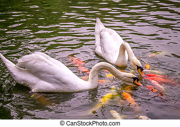 Lots of Colorful Koi Carp Fish Kissing with Two White Swans in a