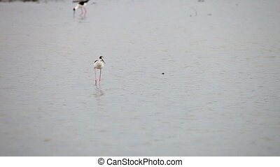 Bird (Himantopus himantopus) feeds in the shallow pond