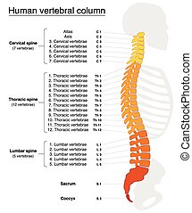 Vertebral Column Names Spine - Vertebral column with names...