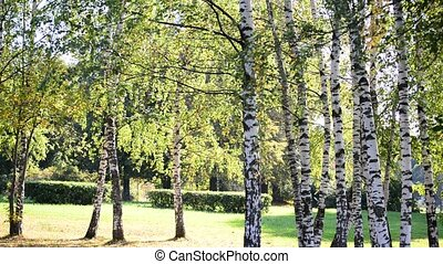 Birch Grove in early autumn on sunny day - Birch Grove in...